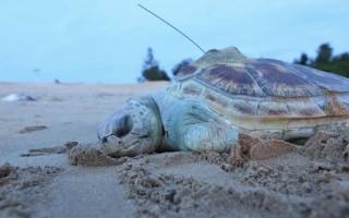 金门发现死亡绿蠵龟 鱼网缠绕致死