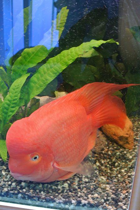 慈鲷之爱水族特展-血鹦鹉改良种红财神,习惯与饲主互动,又称风水鱼。(周美晴/大纪元)