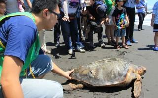 台灣首例  赤蠵龜玳瑁 混種海龜野放