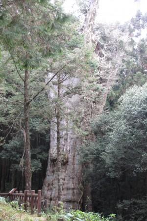 水山巨木。(嘉義林管處提供)