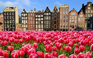 图为荷兰郁金香阿姆斯特丹的运河房屋(fotolia)
