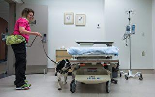 加拿大溫哥華醫院奇招 嗅探犬查超級病菌