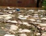 湖北天門市扒堤分洪制造人禍,近90座村莊被淹,數十萬村民被困。圖為村莊受災圖,數百頭豬被淹死。(村民提供)