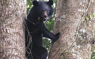 玉山台湾黑熊出没  多项措施防人熊冲突