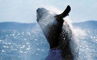精彩畫面:40噸重座頭鯨完全躍出海面