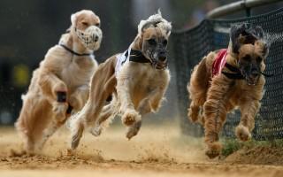 澳新州通過取締獵犬比賽法案 明年7月生效