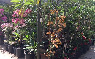 老羅苗圃夏季亞洲花、果樹熱賣