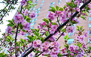 呂志鵬《櫻花盛開》獲得櫻花比賽第三名。 (中華總商會提供)