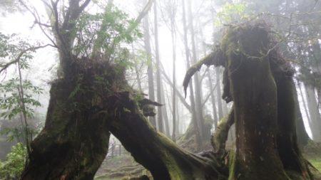 台灣阿里山的原生林。(攝影:貫明)
