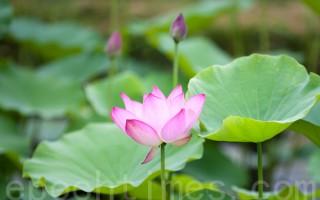 台灣古典詩:詠蓮