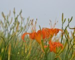"""暑假结束了,但台东县太麻里金针山的金针花还没""""收假""""喔!受到去年暖冬影响,花期晚了半个月,中秋节还可赏花。(中央社)"""