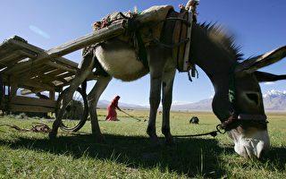 驴胶惹祸? 非洲禁止向中国出口驴子