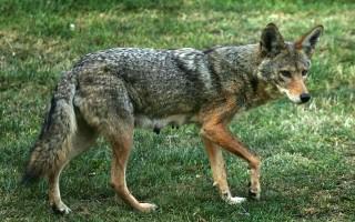 皇后区郊狼快速繁殖 或蔓延到长岛