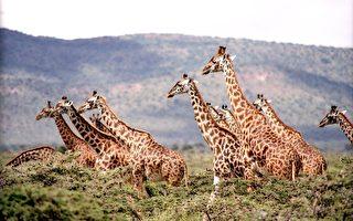 長頸鹿分四種 長脖子從何而來?科學家驚訝