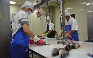 親共惡果 台灣石斑魚出口大陸下滑1千公噸