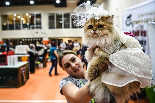 組圖:2016國際貓展 名貓薈萃伊斯坦堡