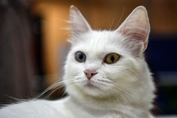 2016年10月16日,由世界聯合貓會主辦的國際貓展在土耳其伊斯坦布爾舉辦。(OZAN KOSE/AFP/Getty Images)