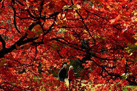 韋斯頓柏植物園紅楓似火。(Dan Istitene/Getty Images)