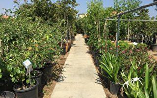 老羅苗圃金秋亞洲果樹、花樹熱賣