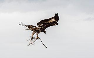 应对空中威胁 法国军方训练老鹰抓无人机
