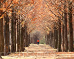 小雪剛過,陣陣涼風吹來樹上的葉子落葉歸根,呈現別有一番晚秋風光。攝於首爾上岩洞世界杯公園。(全景林/大紀元)
