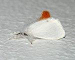 緬因州褐尾蛾毛毛蟲活躍