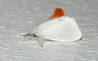 缅因州褐尾蛾毛毛虫活跃