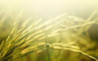 低头的麦穗