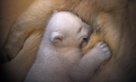 GERMANY-ANIMALS-POLAR-BEAR