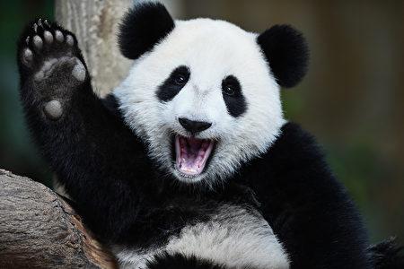 MALAYSIA-CHINA-ANIMAL-PANDA