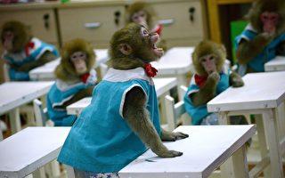 猴子被植入人类基因 中国研究再引伦理批评