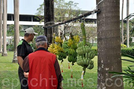 台湾香蕉科技园展示各类品种香蕉。(李晴玳/大纪元)
