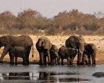津巴布韋總統夫人格蕾絲送給中共35只野生小象,用來償還欠中共的軍備債務。圖為津巴布韋萬基國家公園內一群大象。(JEKESAI NJIKIZANA/AFP/Getty Images)