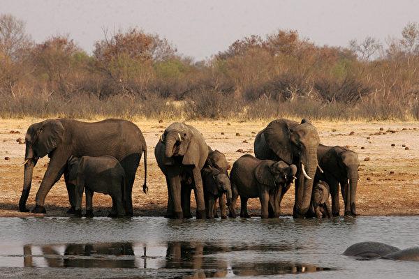 無錢還債 津巴布韋送中共35頭小象抵債