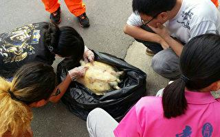 绿蠵龟葬身东北角  塑胶垃圾误食危机