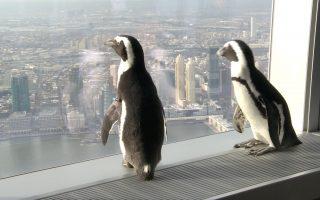 两只小企鹅 做客世贸100层观景台