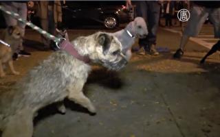 纽约狗狗爱管闲事 每周准时出动抓老鼠 一抓就是20年