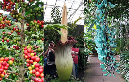 從左至右:阿拉比卡(Coffee Arabica)咖啡樹、巨花魔芋(Titan Arum)和翡翠葛(Jade Vine)。(大紀元合成圖片)