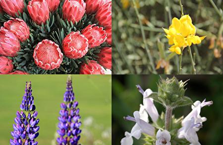從左上角開始順時針:冰粉海神花(Protea Pink Ice)、西班牙金雀花(Spanish Broom)、羽扇豆花(Lupins)和鼠尾草(Spanish Sage)。(大紀元合成圖片)