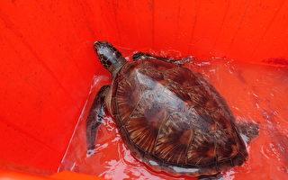 通霄海域发现绿蠵龟