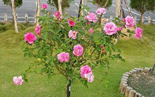 咖啡之乡 隐藏一座欧式浪漫玫瑰园