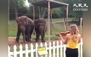 對著大象拉小提琴 下一秒大象的反應 讓人好開心