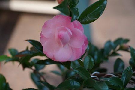 美丽的茶花也将在柑桔展售会上现身,有兴趣的民众可以前往欣赏选购。(赖月贵/大纪元)