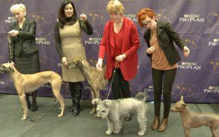 威斯敏斯特狗展 三个新犬种亮相