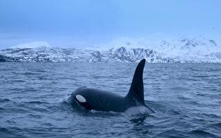 八小时接力 拯救奄奄一息的鲸鱼