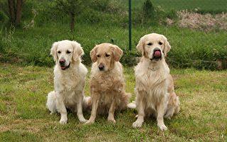 排隊進門 四隻黃金獵犬被封「史上最乖」
