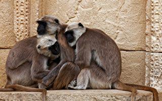 """猴子有怜悯心 见仿生猴""""死亡""""悲伤不已"""