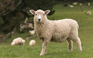 現代牧人的四季日常 還有他的羊(4)
