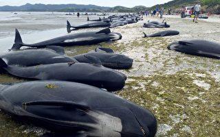 新西兰数百鲸鱼搁浅死亡 规模史上第三大