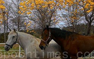盛裝舞步 華服駿馬 馬術源於歐洲貴族